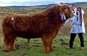 niezawodna jakość nowy design najlepszy hurtownik Highland Cattle World